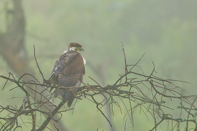 Mountain Buzzard in fog - Lake Nakuru National Park, Kenya