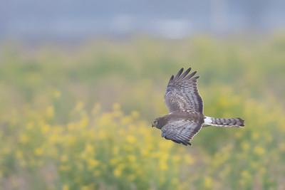 Northern Harrier - San Jose, CA, USA