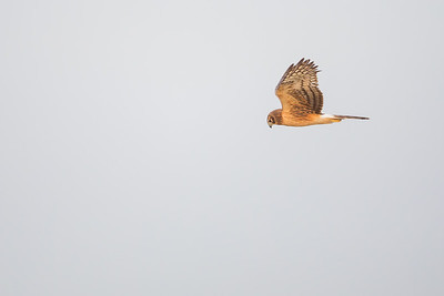 Northern Harrier - Mountain View, CA, USA
