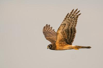 Northern Harrier - Los Banos, CA, USA
