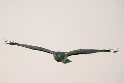 Northern Harrier - Merced, CA, USA