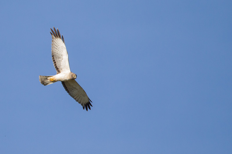 Northern Harrier - Solano County, CA, USA