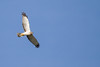 Northern Harrier - Solano County, CA, USA