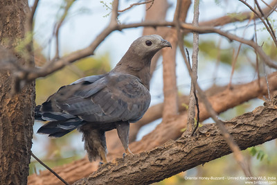Oriental Honey-Buzzard - Umred Karandhla WLS, India