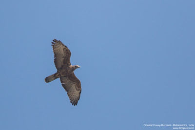 Oriental Honey-Buzzard - Maharashtra, India