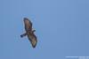 Oriental Honey-Buzzard - Maharashtra, India