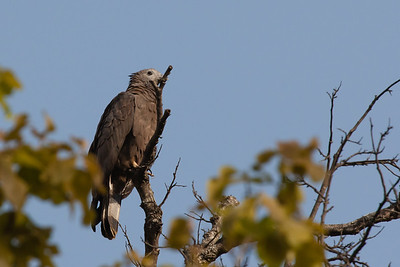 Oriental Honey-Buzzard - Bandhavgarh National Park, Madhya Pradesh, India