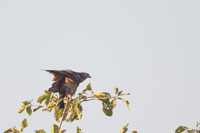 Oriental Honey-Buzzard - Near Koradi, Nagpur, India