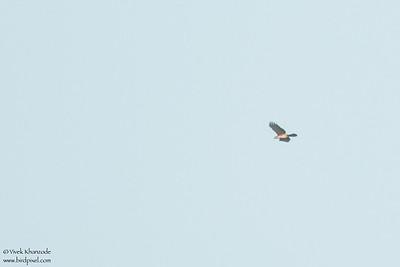 Ornate Hawk-Eagle - Record - Hidden Valley, Belize