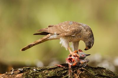 Ovambo Sparrowhawk - Lake Manyara National Park, Tanzania