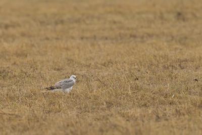 Pallid Harrier - Ngorongoro Crater, Tanzania