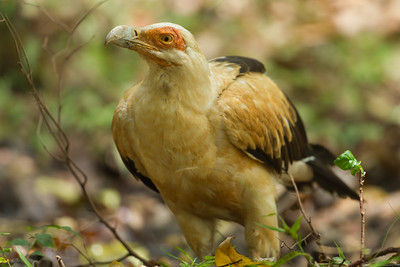 Palm-nut Vulture - Lake Manyara National Park, Tanzania