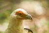 Palm-nut Vulture - Lake Manyara National Park, Tanzania