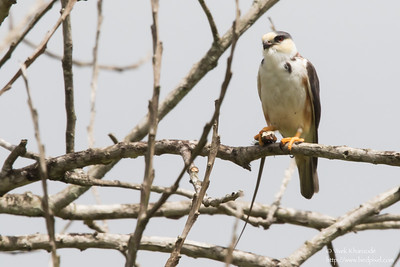 Pearl Kite with catch - Aripo Agricultural Station, Trinidad