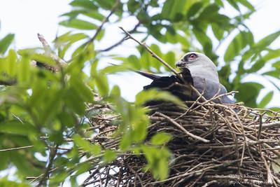 Plumbeous Kite - Blanchiseusse Rd, Trinidad