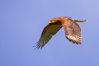 Red-shouldered Hawk - Milpitas, CA, USA