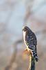 Red-shouldered Hawk - Palo Alto, CA, USA