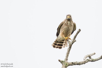 Roadside Hawk - Crooked Tree, Belize