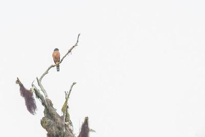 Roadside Hawk - Record - Refugio Paz de las Aves, Ecuador