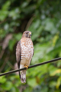 Roadside Hawk - Arenal, Costa Rica
