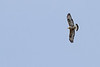 Rough-legged Hawk - Record - Nome, AK, USA