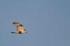 Rough-legged Hawk - Record - Sierra Valley, CA, USA