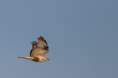Rough-legged Hawk - Record - Sierra Valley, CA, USA