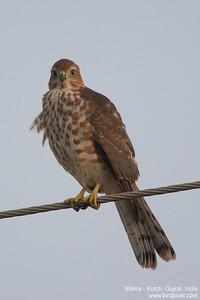 Shikra - Kutch, Gujrat, India