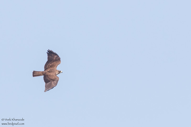 Short-tailed Hawk - Record - Western Highway, Belize