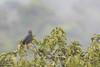 Slate-colored Hawk - Amazon, Ecuador