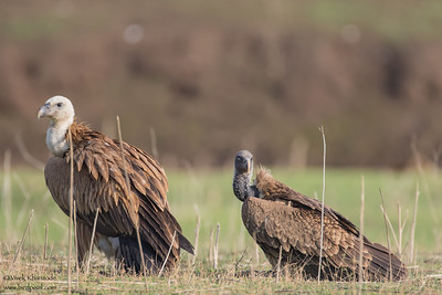 Slender-billed and Indian Vultures - Critically Endangered - Pench National Park, India