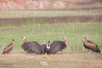 Slender-billed, White-rumped and Indian Vultures - all Critically Endangered - Pench National Park, India