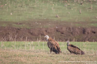 Indian Vulture & Slender-billed Vulture - Pench National Park, India