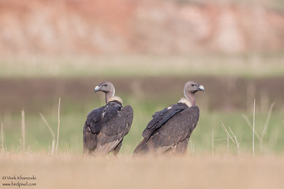 Slender-billed Vulture - Pench National Park, India
