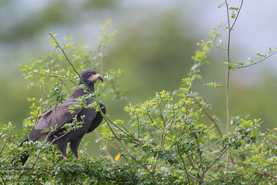 Snail Kite - Crooked Tree, Belize