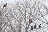 Steller's Sea-Eagles & White-tailed Eagles - Hokkaido, Japan