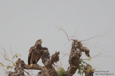 Steppe Eagle - Record - Kutch, Gujrat, India