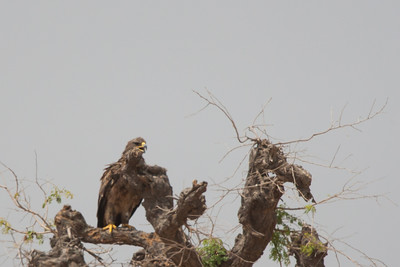 Steppe Eagle - Record - Kutch, Gujrat, India