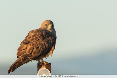 Swainson's Hawk  - CA, USA