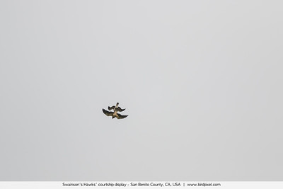 Swainson's Hawks' courtship display - San Benito County, CA, USA
