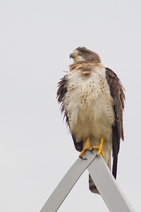 Swainson's Hawk - Light Morph - Longmont, CO, USA