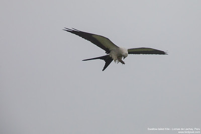 Swallow-tailed Kite - Peru