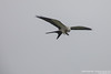 Swallow-tailed Kite - Lomas de Lachay, Peru
