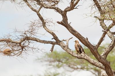 Tawny Eagle - Tarangire National Park, Tanzania
