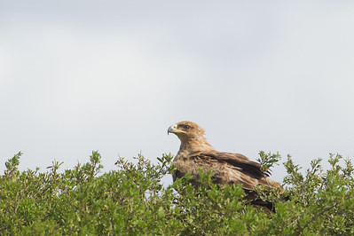 Tawny Eagle - Serengeti National Park, Tanzania