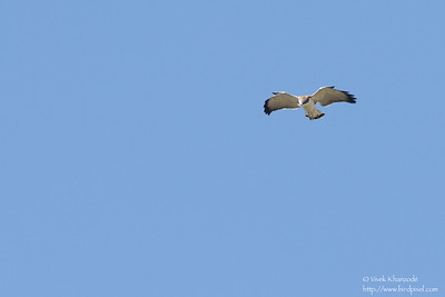 Variable Hawk - Record - Antisana Ecological Preserve, Ecuador