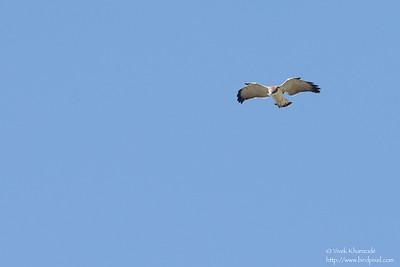 Variable Hawk - Record - Antisana Ecological Preserve, Ecuador