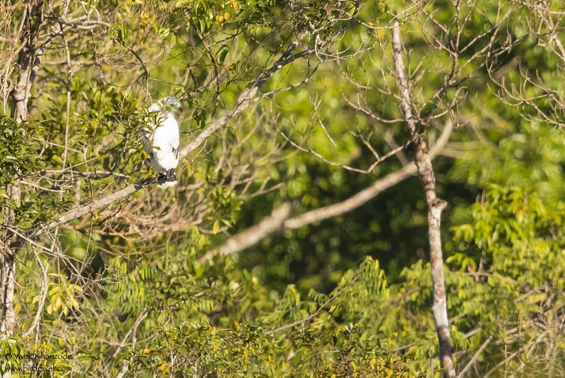 White Hawk - Record - Hidden Valley, Belize