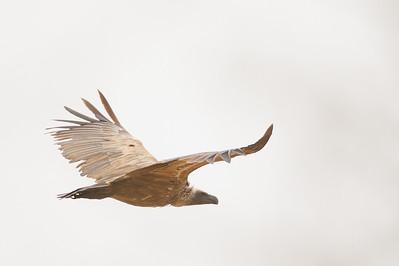 White-backed Vulture in flight - Tarangire National Park, Tanzania