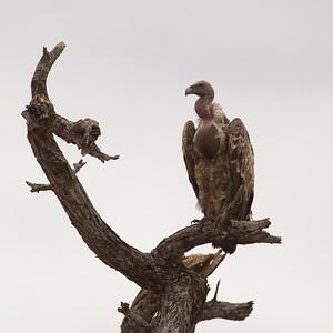 White-backed Vulture - Tarangire National Park, Tanzania